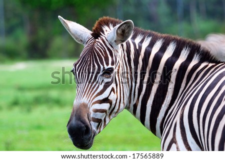 Zebra #3 - stock photo