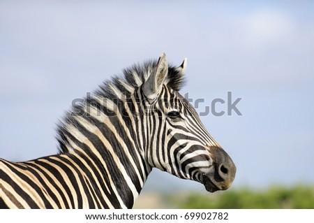 zebra - stock photo