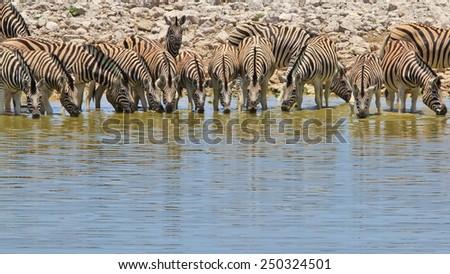 Zebra - African Wildlife Background - Line up drink of Pleasure - stock photo