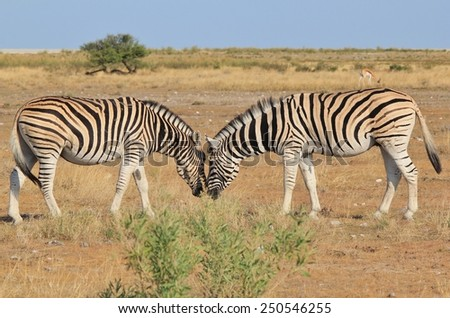 Zebra - African Wildlife Background - Love is in the Air - stock photo