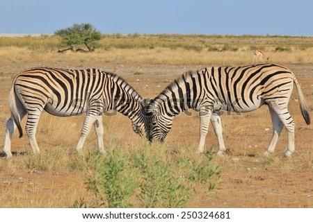 Zebra - African Wildlife Background - Loving Stripes - stock photo