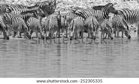 Zebra - African Wildlife Background - Pleasure of Water and Celebration of Life - stock photo