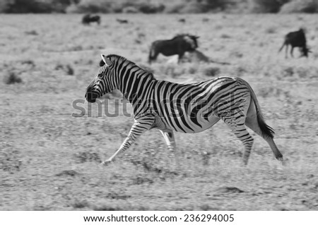 Zebra - African Wildlife Background - Running Wild and Free - stock photo