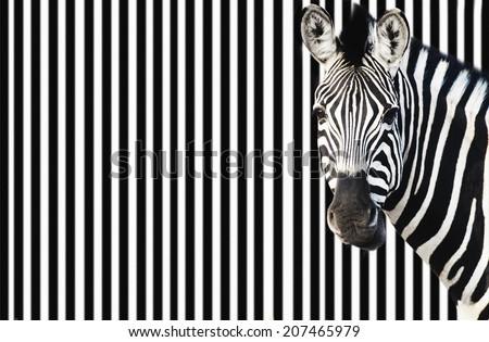Zebra against background of black and white stripes - stock photo