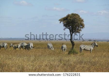 Zebra and Acacia tree in Nairobi National Park, Nairobi, Kenya, Africa - stock photo