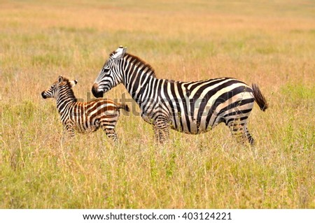 Zebra and baby, young zebra - stock photo