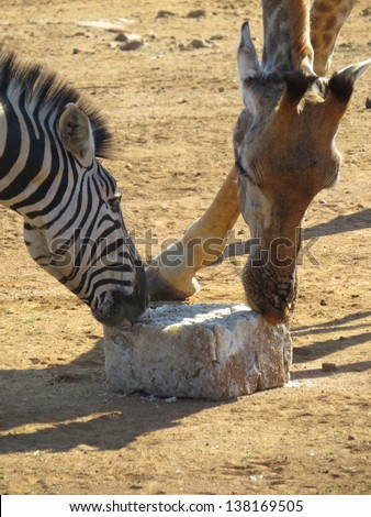Zebra and Giraffe.
