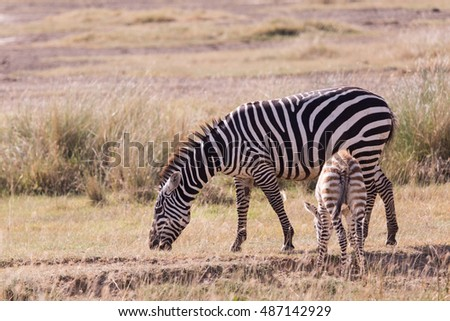 Zebra and son in the savannah in Masai Mara Kenya