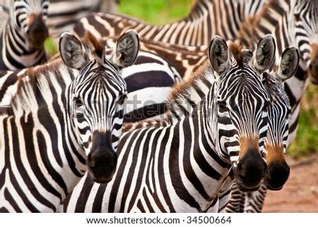 Zebra animal herd in closeup - stock photo
