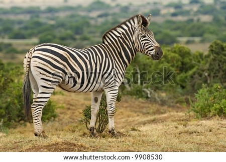Zebra are never thin and are always in top health