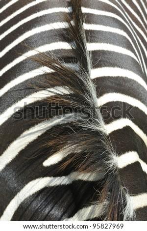 Zebra Artistic 1 - stock photo