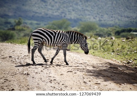 Zebra at Maasai Mara game reserve, Kenya
