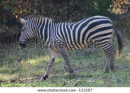Zebra at NC zoo - stock photo