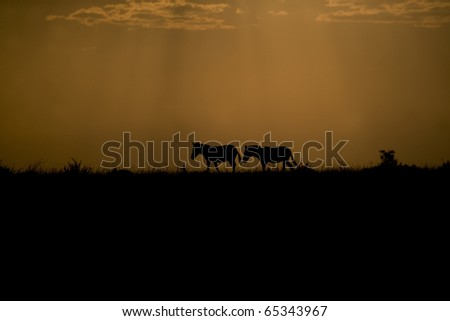 Zebra at sunset in the Masai Mara