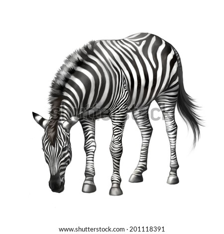 zebra bent down eating grass . Vector isolated on white background - stock photo