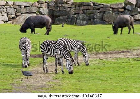 Zebra browse in the field