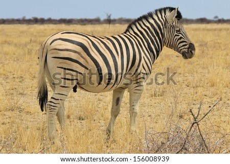 Zebra, Burchell's - Wildlife Background from Africa - Animal Kingdom beauty through posture and stance of stripes and horizons.