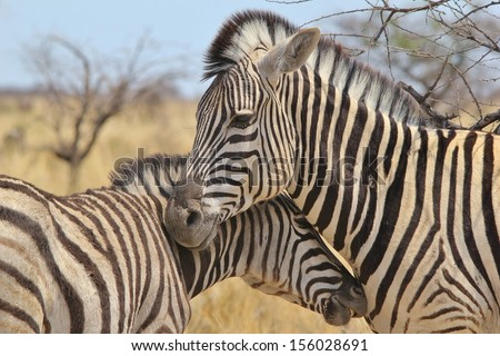 Zebra, Burchell's - Wildlife Background from Africa - Motherly love and affection in the Animal Kingdom.