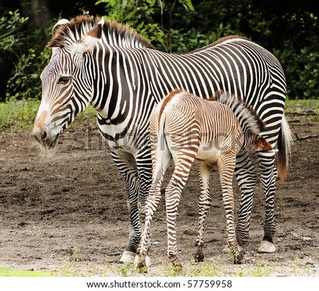 Zebra Calf Feeding - stock photo