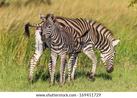 Zebra Calf Wildlife Colors Zebra with calf close to its side eating alert for predators late afternoon in wildlife rural reserve