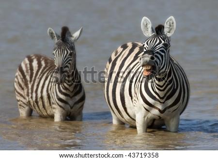 Zebra cow (barking) and calf standing in water; Etosha; Equus burchell's - stock photo