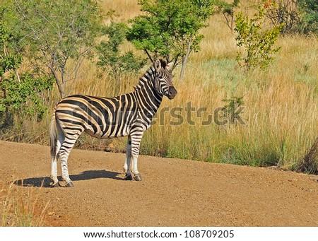 Zebra crossing dirt road. - stock photo