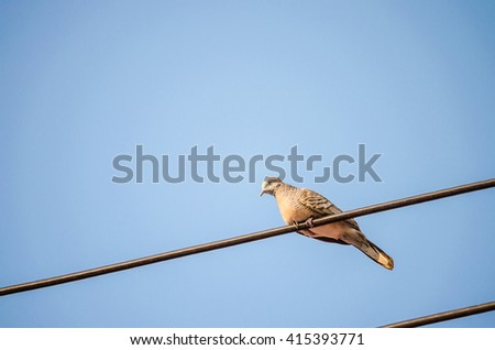 Zebra dove on a power line in sunshine day in Thailand. - stock photo