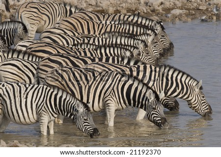 Zebra drinking at a waterhole.in Namibia.
