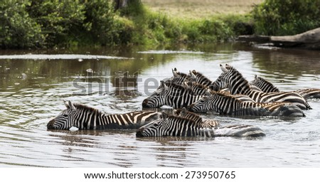 Zebra drinking in the river, Serengeti, Tanzania, Africa - stock photo