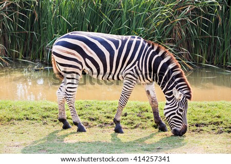 Zebra eating grass - stock photo