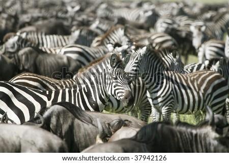 Zebra (Equus burchelli) in the great migration - stock photo