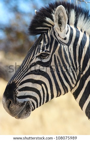 Zebra (Equus quagga) in the Etosha National Park, Namibia