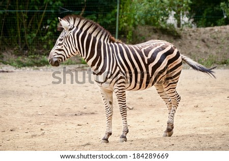 Zebra - Equus quagga walking around