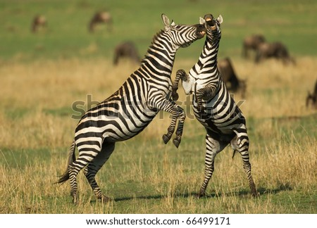 Zebra Fight during migration - stock photo
