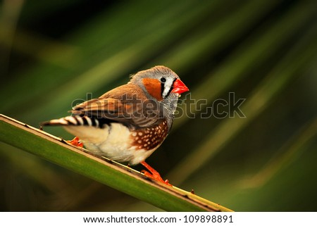 zebra finch - stock photo