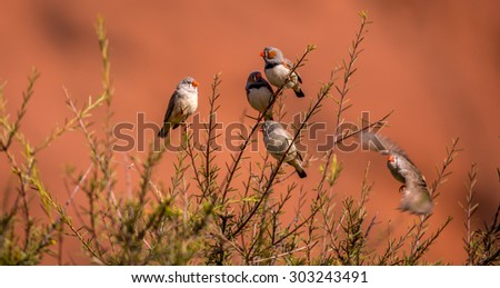 Zebra Finches in the Australian Outback - stock photo