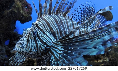 Zebra fish. Exotic Zebra fish or striped lionfish. Saltwater Fish. - stock photo