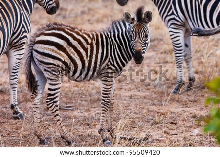 Zebra foal in Kruger National Park, South Africa