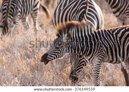 Zebra foal in the Okavango Delta, Botswana - stock photo