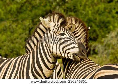 Zebra friends standing and showing affection to one another