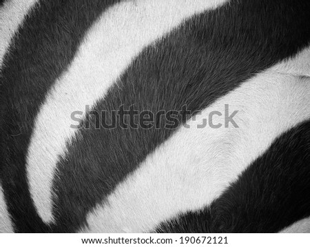 Zebra fur background texture - stock photo