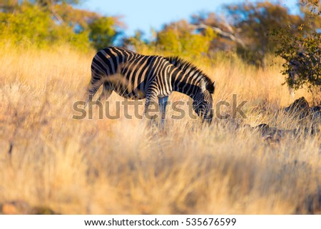 Zebra grazing in the bush at sunset. Wildlife Safari in the scenic Marakele National Park, travel destination in South Africa.