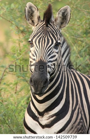 zebra herbivorous mammal of the African savannah zebras live in numerous flocks on the plains south africa kruger national park