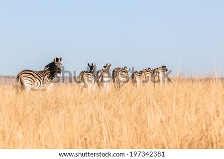 Zebra Herd Alert Grasslands Wildlife Zebra herd alert in winter grasslands wildlife animals in their habit wilderness reserve terrain. - stock photo