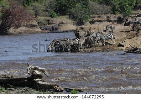 Zebra herd drinking - stock photo