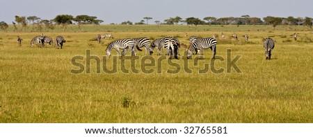 Zebra Herd in Singita Grumeti Reserves, Tanzania. - stock photo