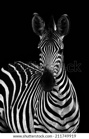 Zebra in black and white - stock photo