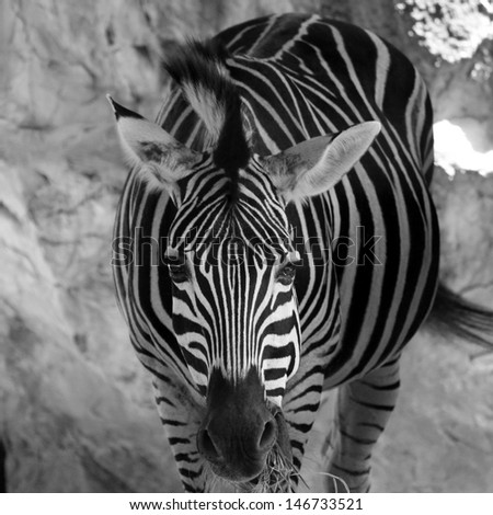 Zebra in black and white tone - stock photo