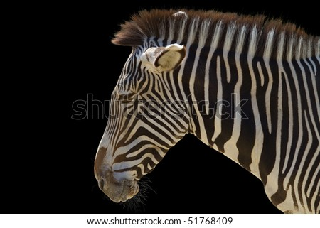 zebra in front of a black background - stock photo