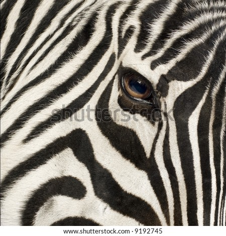 Zebra in front of a white background - stock photo